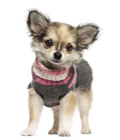 Dressed up Chihuahua puppy standing, looking at the camera, 3 months old, isolated on white