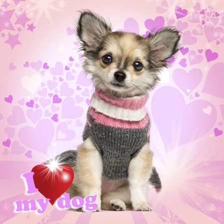 chihuahua 3 months old: Chihuahua puppy sitting on heart background, 3 months old