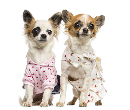 clothed: Two dressed-up Chihuahuas sitting, 9 months old, isolated on white Stock Photo