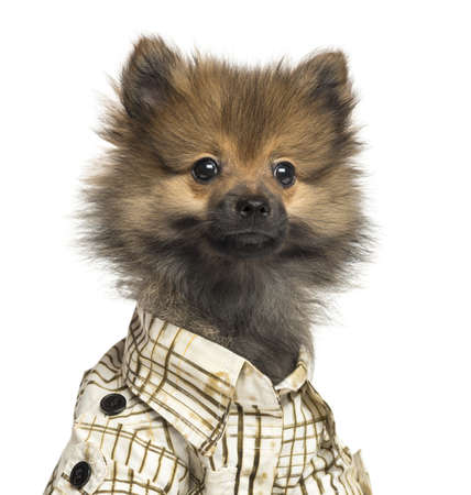 perros vestidos: Primer plano de un cachorro de Spitz con camisa a cuadros, 4 meses de edad, aislado en blanco Foto de archivo