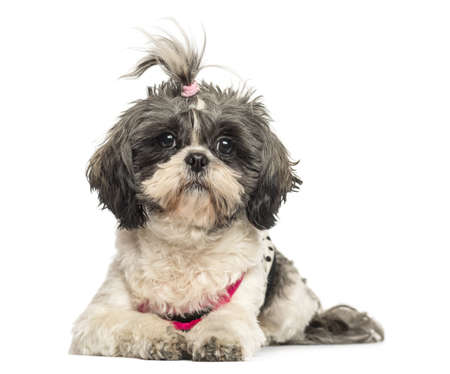 Front view of a Shih Tzu lying, looking at the camera, 4 years old, isolated on white photo