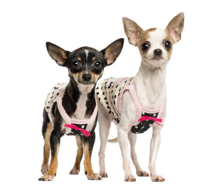 Two dressed up Chihuahuas standing, 1 and 4 years old, isolated on white photo