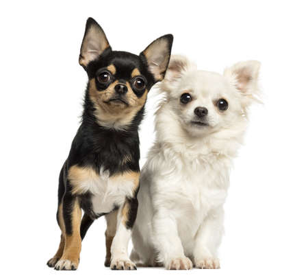 next to each other: Chihuahua puppies next to each other, looking at the camera, isolated on white