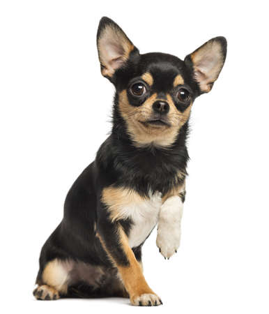 obey: Chihuahua lefting una pata, mirando a la c�mara, 8 meses de edad, aislado en blanco