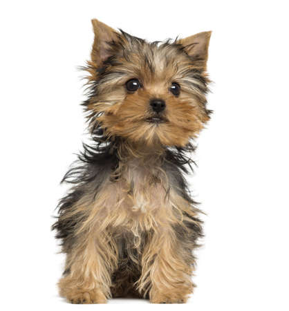 vertebrate: Yorkshire Terrier puppy sitting, 3 months old, isolated on white