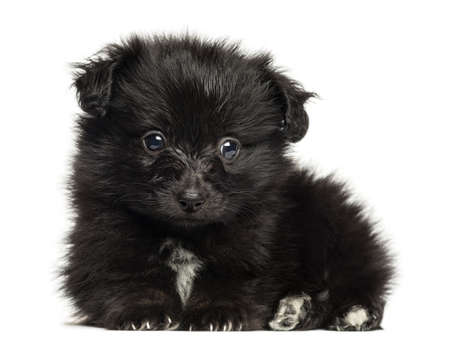 German Spitz puppy lying down, looking at the camera, 8 weeks old, isolated on white photo