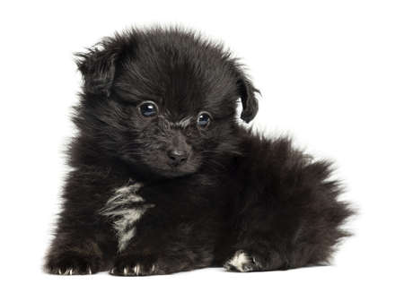 German Spitz puppy lying down, 8 weeks old, isolated on white photo