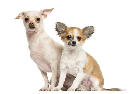 Two Chihuahua sitting, looking at the camera, 18 and 4 months old, isolated on white photo