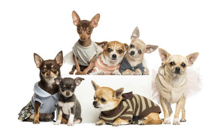 clothed: Group of dressed-up Chihuahuas, isolated on white
