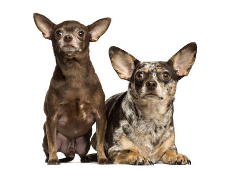 next to each other: Chihuahua looking up, next to each other, 3 and 2 years old, isolated on white Stock Photo