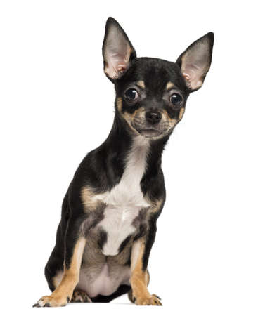 Chihuahua puppy sitting, 4 months old, isolated on white photo
