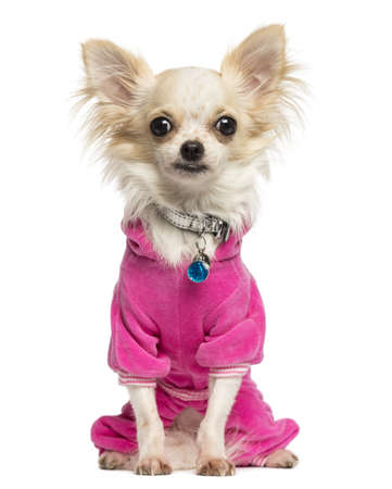 9 months old: Vestida Chihuahua sentado, mirando a la c?mara, 9 meses de edad, aislado en blanco