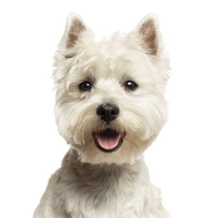 panting: Close-up of a West Highland White Terrier, looking at the camera, panting, 18 months old, isolated on white