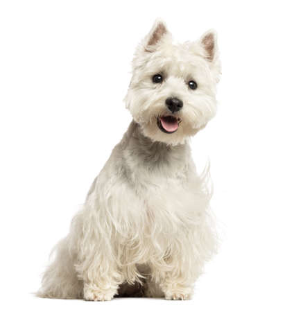 West Highland White Terrier panting, sitting, 18 months old, isolated on white photo