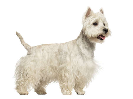 Side view of a West Highland White Terrier panting, 18 months old, isolated on white photo