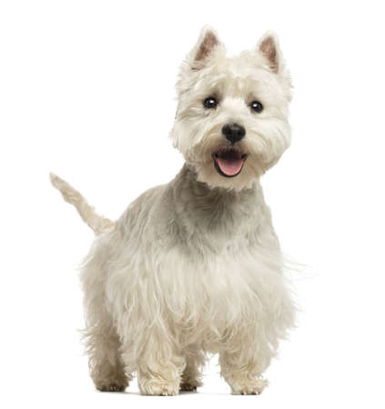 West Highland White Terrier panting, looking happy, 18 months old, isolated on white photo