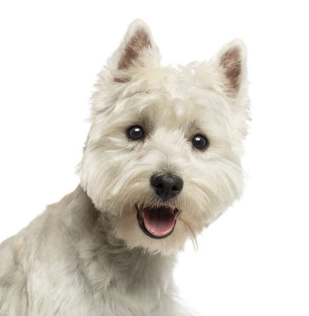 Close-up of a West Highland White Terrier, looking at the camera, panting, 18 months old, isolated on white photo