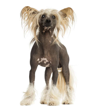 Chinese Crested Dog, standing, 3 years old, isolated on white Stock Photo