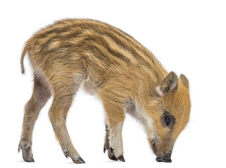 野生のイノシシ、イノシシも知られている野生豚、2 ヶ月、立って、白で隔離され、下へ見ています。