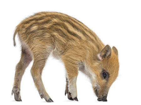 Wild boar, Sus scrofa, also known as wild pig, 2 months old,standing and looking down, isolated on white Фото со стока