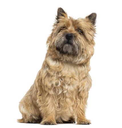 Cairn Terrier sitzen, Blick nach oben, isoliert auf weiß