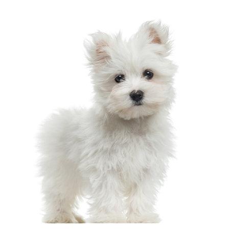 白で隔離されるマルタの子犬に立って、カメラ、2 か月古い、見て