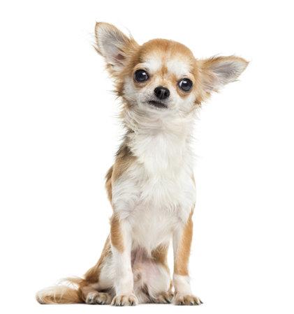 Chihuahua assis, en face, isolé sur blanc