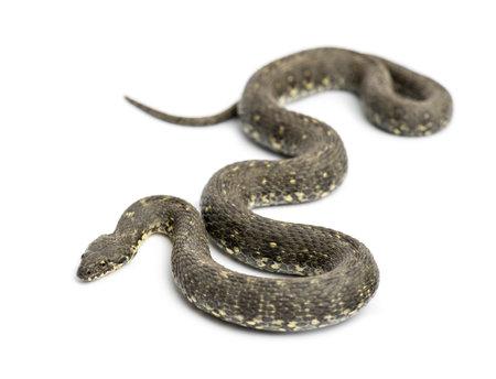 녹색 채찍 뱀, Hierophis의 viridiflavus, 흰색으로 격리 스톡 콘텐츠