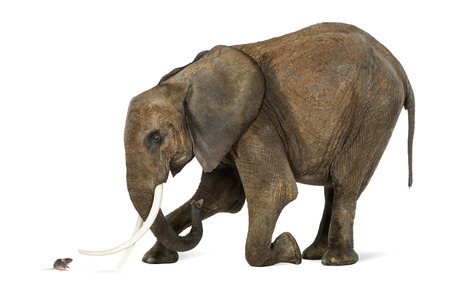 흰색에 고립 된 마우스의 앞에 아프리카 코끼리 무릎을 꿇,