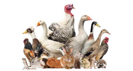 Groep van boerderij vogels en knaagdieren, geïsoleerd op wit