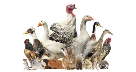 Group of farm birds and rodents, isolated on white 版權商用圖片