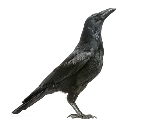 Side view of a Carrion Crow looking up, Corvus corone, isolated on white