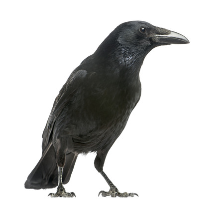 Side view of a Carrion Crow, Corvus corone, isolated on white Imagens