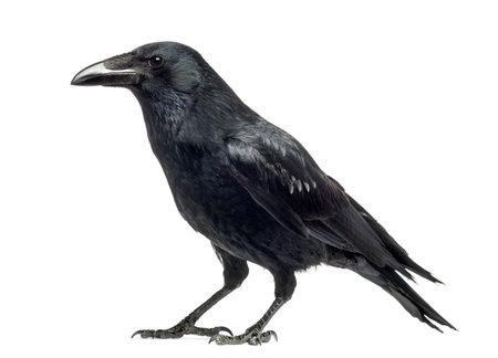 Vista lateral de una corneja, Corvus corone, aislado en blanco