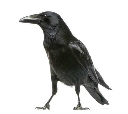 Side view of a Carrion Crow, Corvus corone, isolated on white Reklamní fotografie