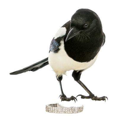 Neugierig Common Magpie, der die Kamera mit Schmuck, Pica pica, isoliert auf weiß