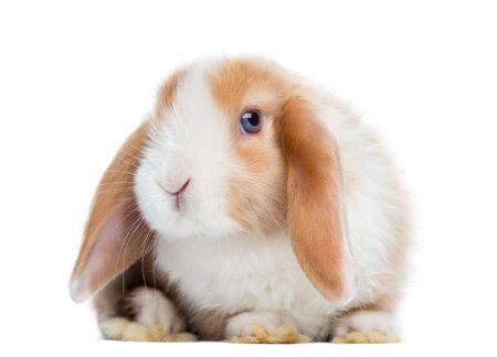 Satin Mini Lop Kaninchen Leiste, schaut in die Kamera, isoliert auf weiß