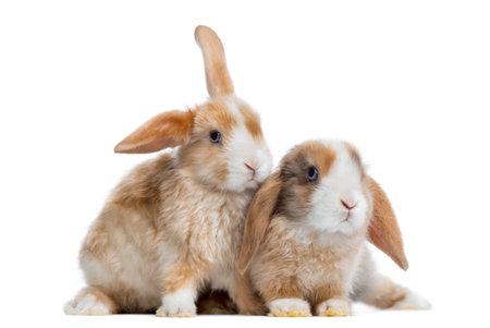 Zwei Satin Mini Lop Kaninchen nebeneinander, isoliert auf weiß Standard-Bild