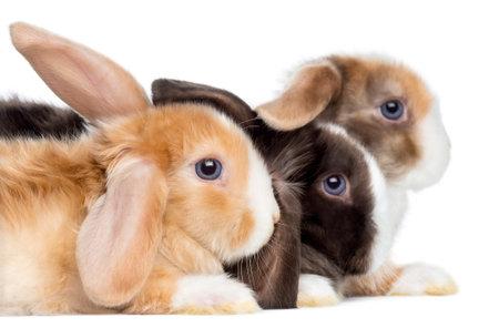 Close-up von Satin Mini Lop Kaninchen Profil, isoliert auf weiß Standard-Bild