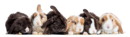 Satin Mini Lop Kaninchen in einer Reihe, isoliert auf weiß