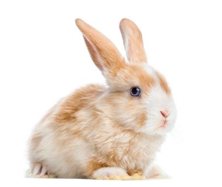 Satin Mini Lop rabbit ear up, liegend, isoliert auf weißem
