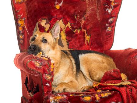독일어 양치기이다 흰색으로 격리, 파괴 된 안락 의자에 dipressed 찾고