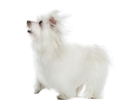 Side view of a Maltese looking up, isolated on white Stock Photo - 22728399