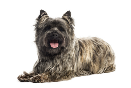 Side view of a Cairn Terrier panting, looking at the camera, isolated on white Zdjęcie Seryjne