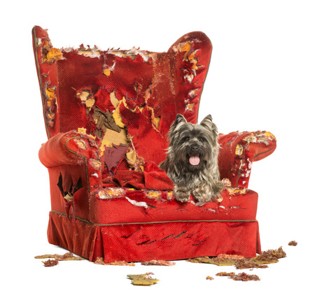 Cairn Terrier panting, lying on a destroyed armchair, isolated on white