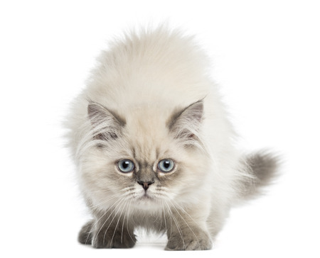 British Longhair kitten facing, looking at the camera, 5 months old, isolated on white Stock Photo