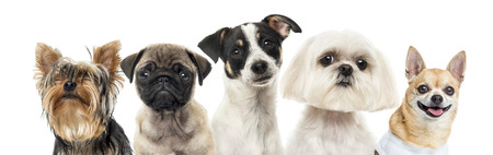 Close-up of dogs in a row, isolated on white