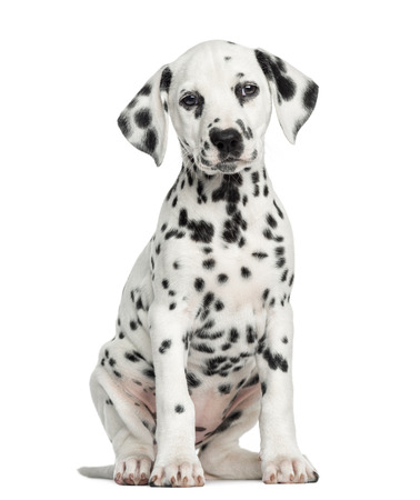 Front view of a Dalmatian puppy sitting, facing, isolated on white