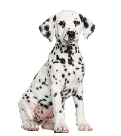 Vue de face d'un chiot dalmatien assis, en face, isolé sur blanc