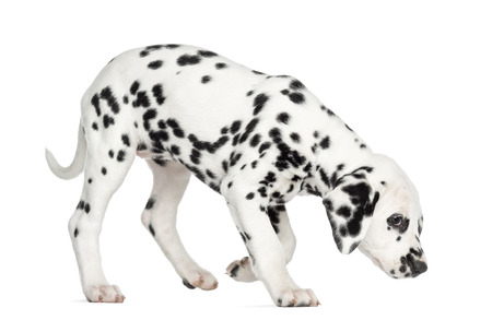Side view of a Dalmatian puppy standing, sniffing the floor, isolated on white Stock Photo